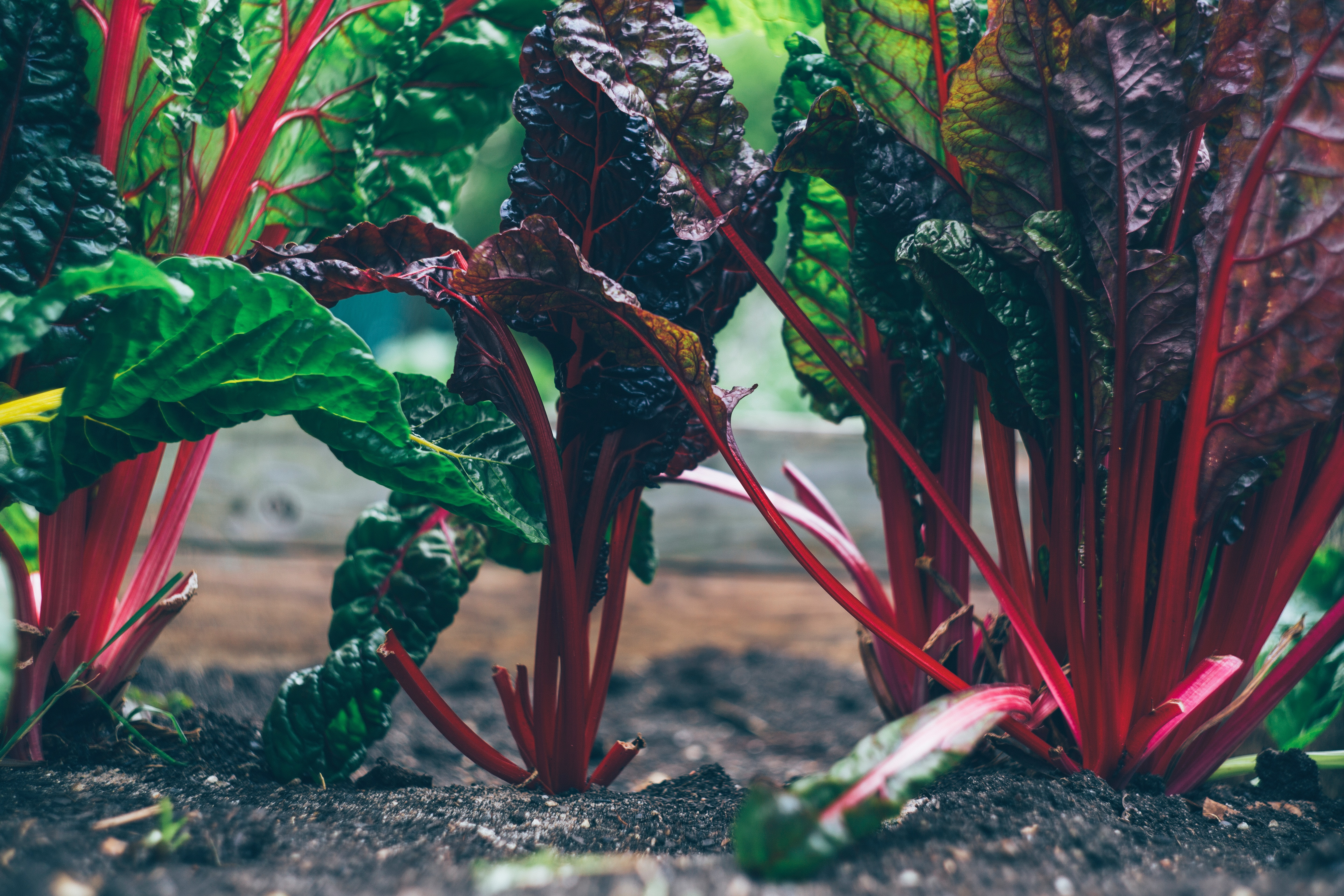 Edible Beet Greens growing out of the soil