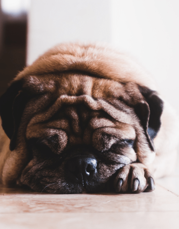 Pug feeling under the weather with his face buried in his paws